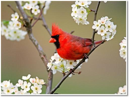 cardinal spring garden