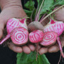 candy striped beet