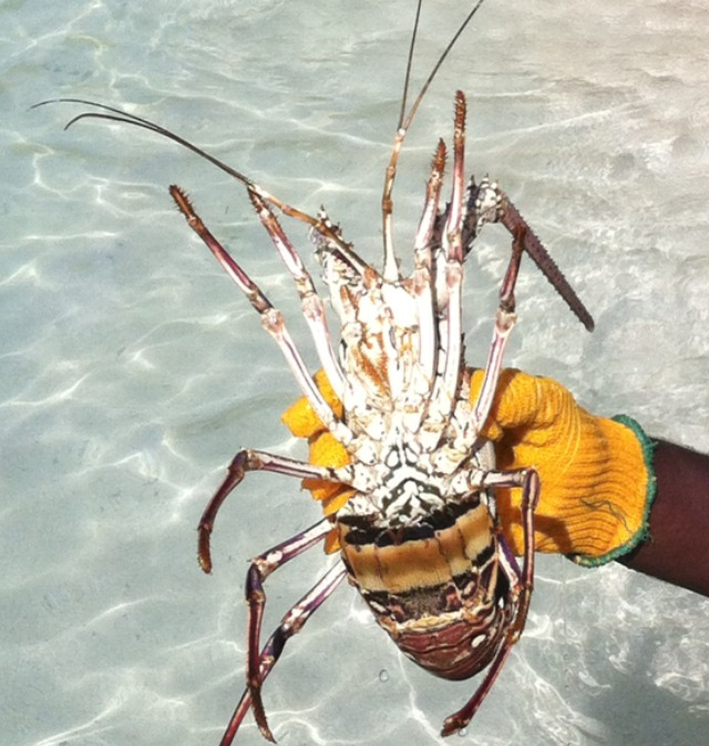 pineal island fresh seafood langoustine lobster