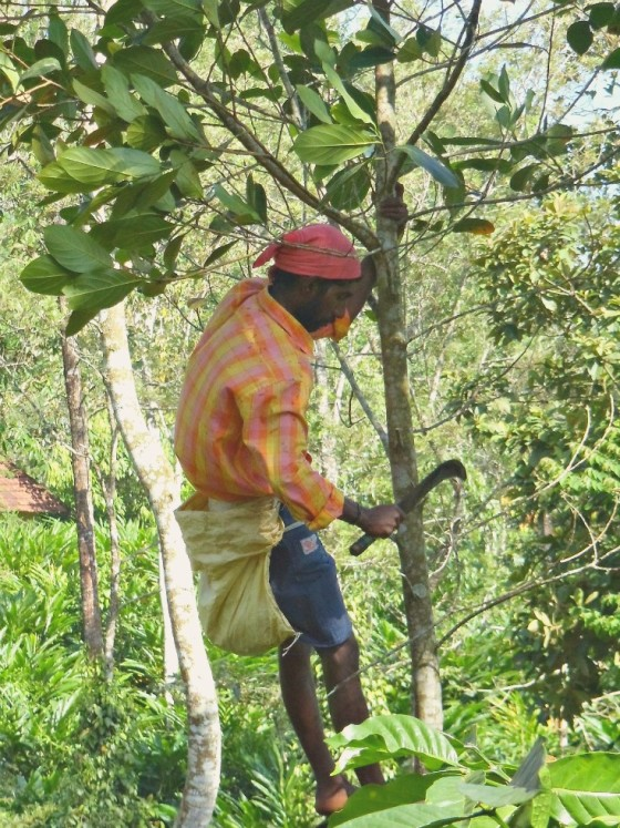 Shade trees being pruned on the plantation.