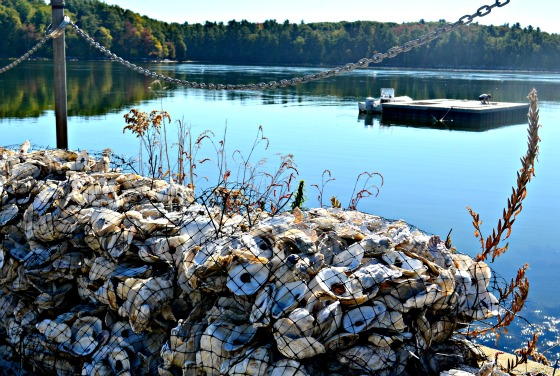 maine-Oyster-culture-Great-bay-greenwithrenvy