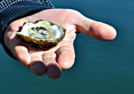 Oyster Culture in Great Bay