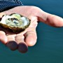 Oyster culture in maine