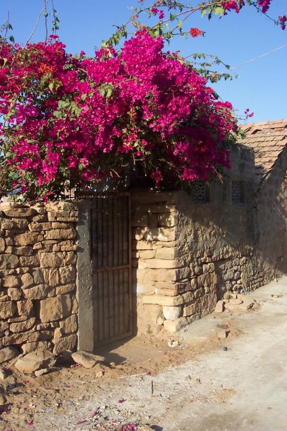 Rajasthan bougainvillea flowers