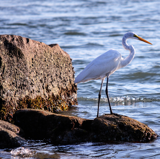 White heron on the waterfront