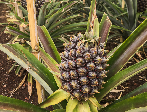 Pineapple farm in São Miguel