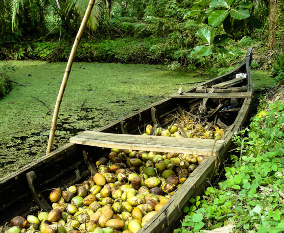 Dugout filled with coconuts from Kerala