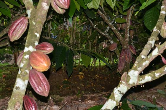 Costa Rica Ecotourism cocoa factory