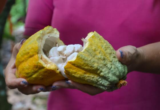 raw cocoa costa rica ecotourism