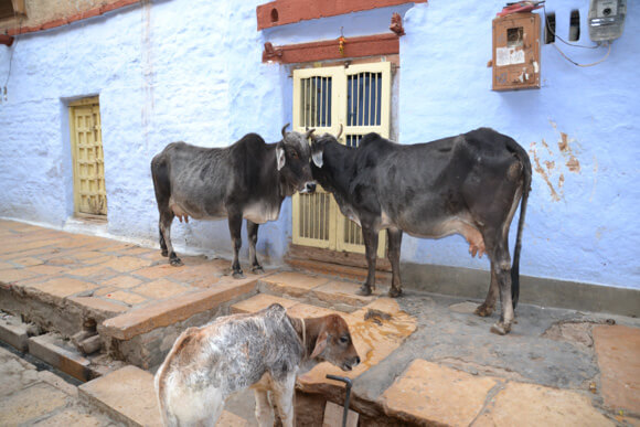 Sacred cows in India