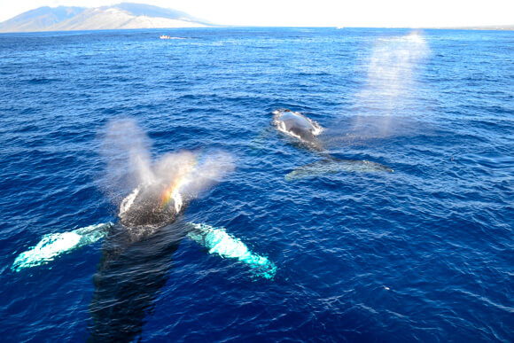 Whale Watching Uncruise Adventure in Hawaii