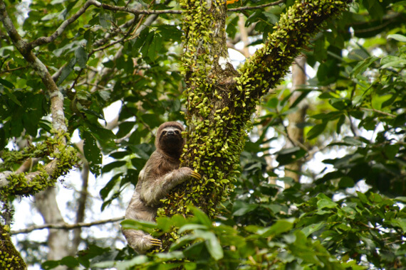 Sloth on Amazon adventure cruise in Peru