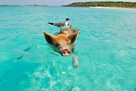 Pigs swimming in Bahamas