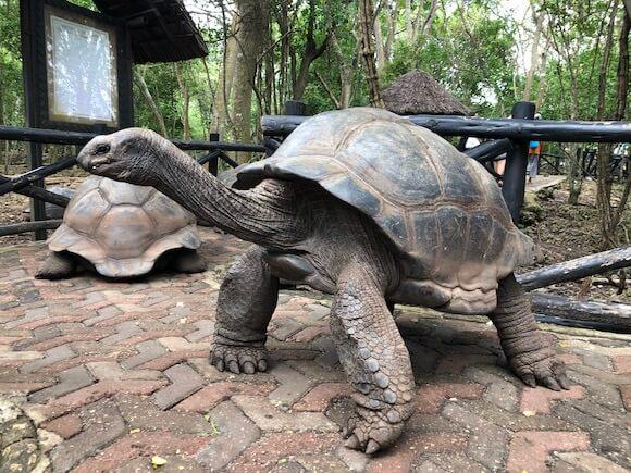 tortoise on Prison Island Zanzibar