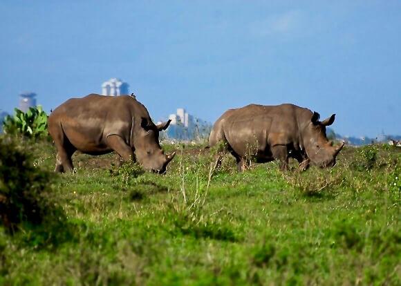 Narobi safari rhinos