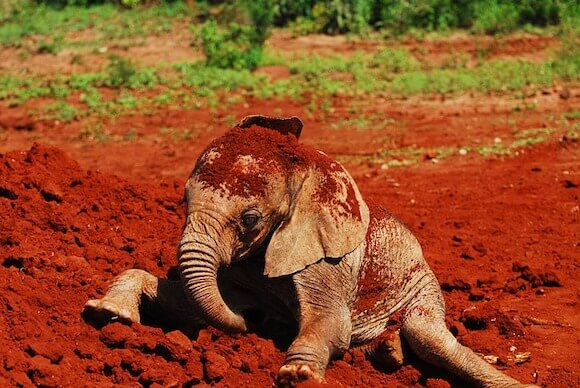 baby elephant playing in dirt