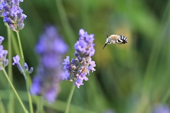 bee with lavender flower
