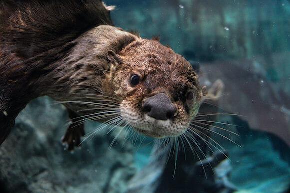 otter in aquarium